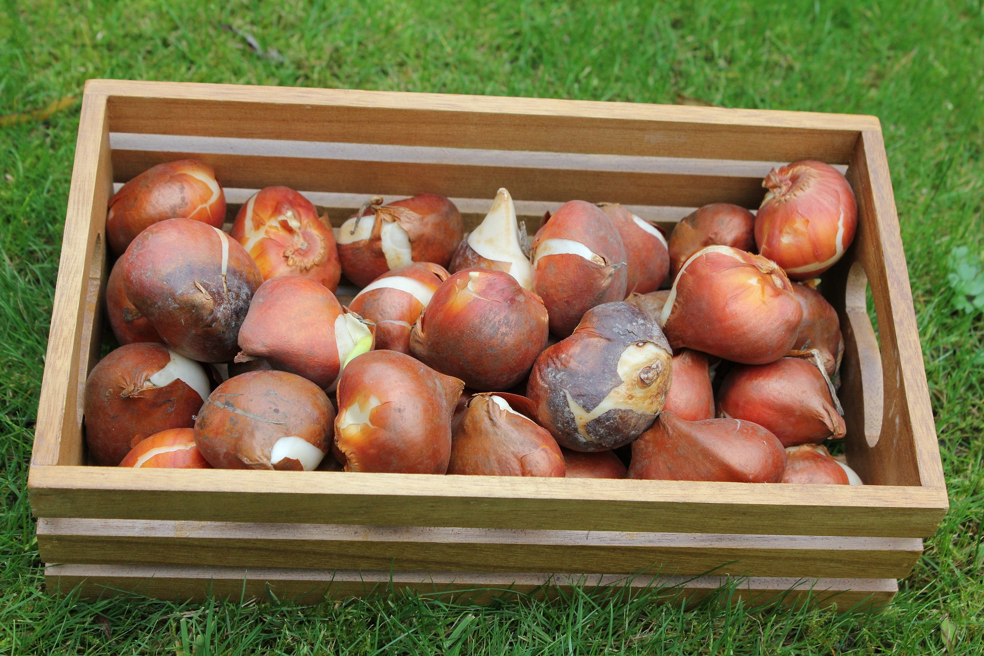 How And When To Plant Spring Bulbs - Allentuck Landscapes