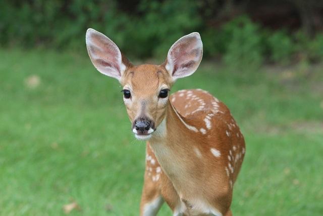 Prevent Deer Damage To Your Landscape Plants