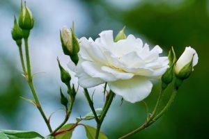 Rose Pruning